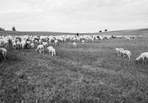 Würhtemberg Koyun Irkı