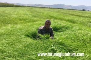 Teff Grass Özellikleri