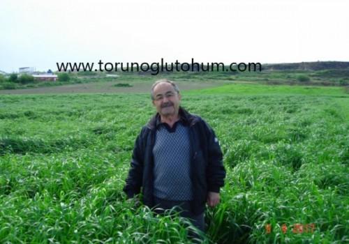 Reygras Tohumu