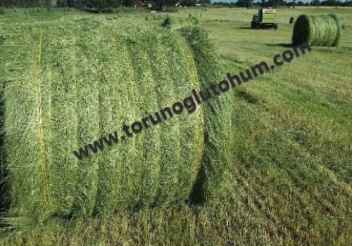 TEFF GRASS OTU TOHUMU FİYATLARI