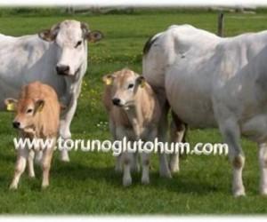 En İyi Etçi Sığır Irkı