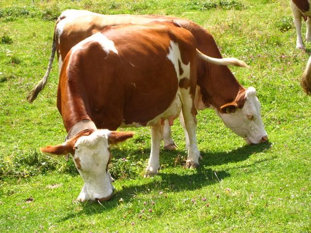 simental sığırı