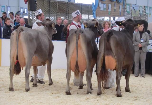 şampiyon montofon süt inekleri