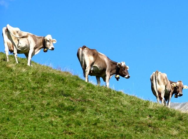 montofon sığırı