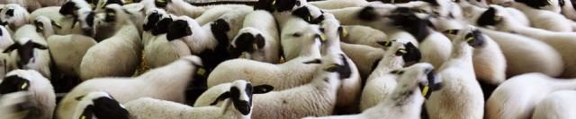 sakız koyunu resimleri