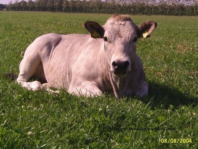 piedmontese etçi sığır ırkı
