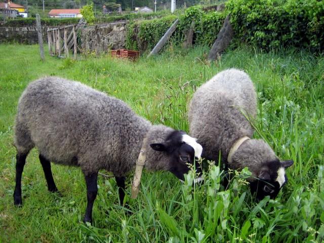 satılık saf romanov koyunlar