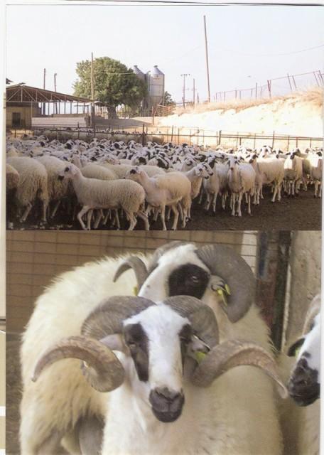 sakız koyunu fiyatları