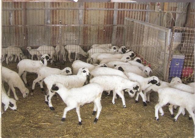 satılık sakız koyunu