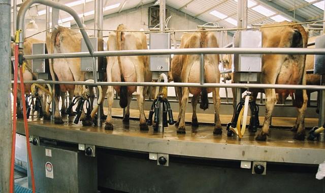 satılık jersey inek