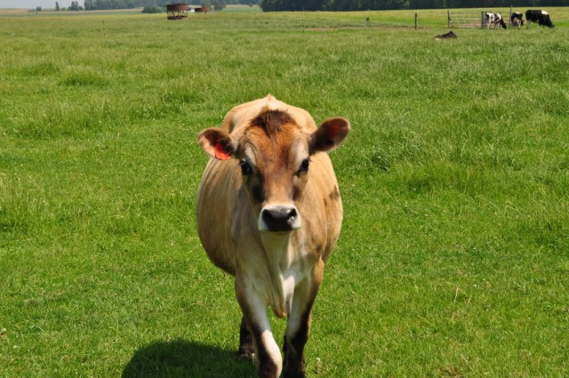 jersey cinsi sığır