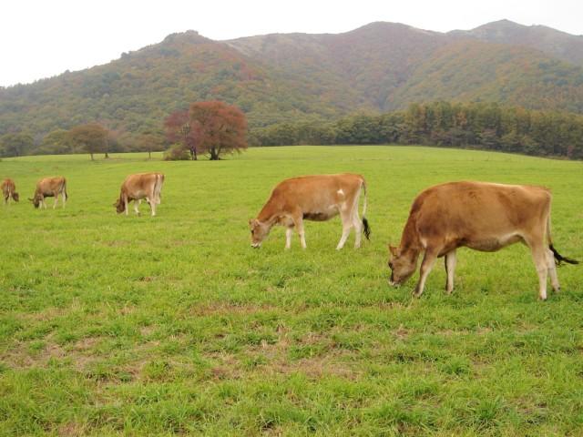 Jersey sığırı yetiştiriçiliği