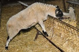 sakız koyunu özellikleri