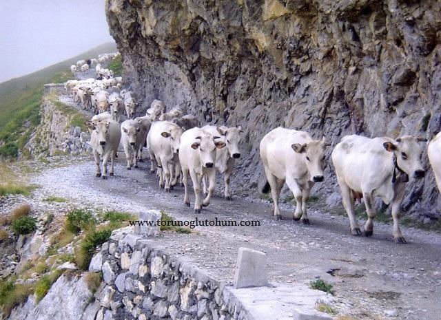 piedmontese etçi sığırları
