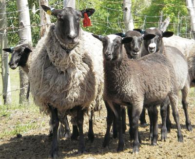 romanov koyunu çiftlikleri