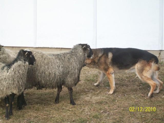 romanov koyunu kuzu verimi