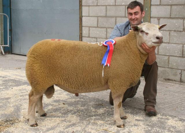 chrollais koyunu fiyatları