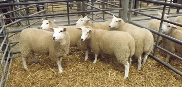 chrarollais sheep